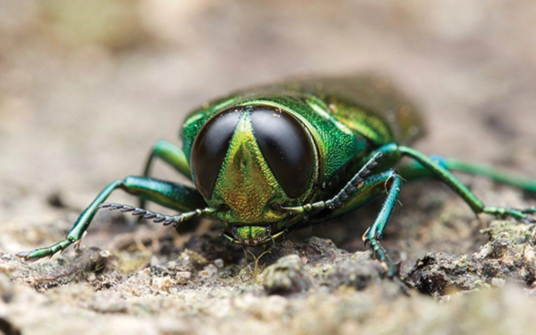 tone wood bug